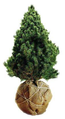 Potted Live Christmas Tree